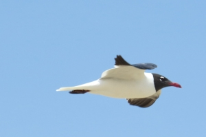 laughinggull